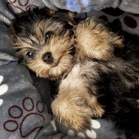 Carácter del Yorkshire Terrier