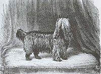 Huddersfield Ben Yorkshire Terrier